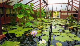 Blue lotus water garden Yarra Junction