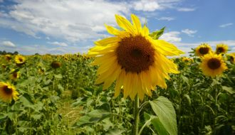 Pick Your Own Sunflowers Dunnstown