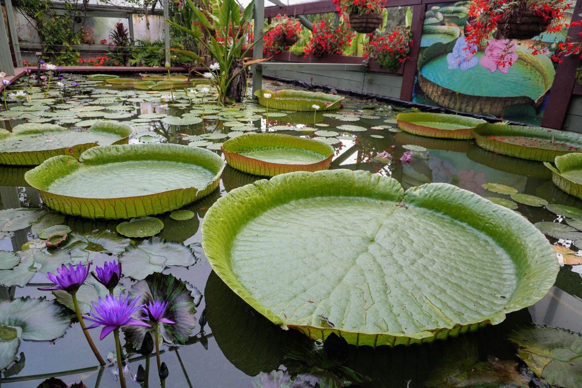 blue lotus garden 136