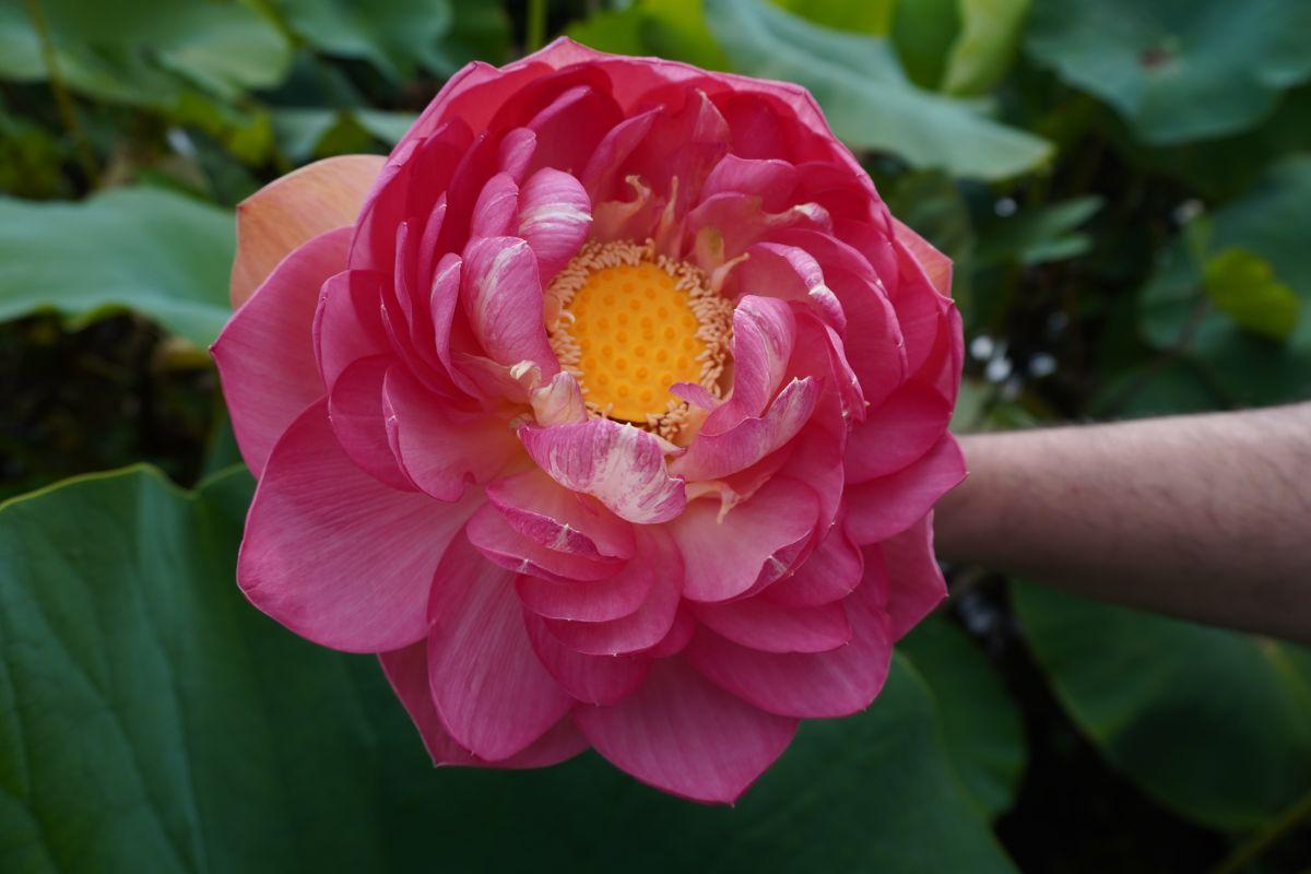 blue lotus garden 158