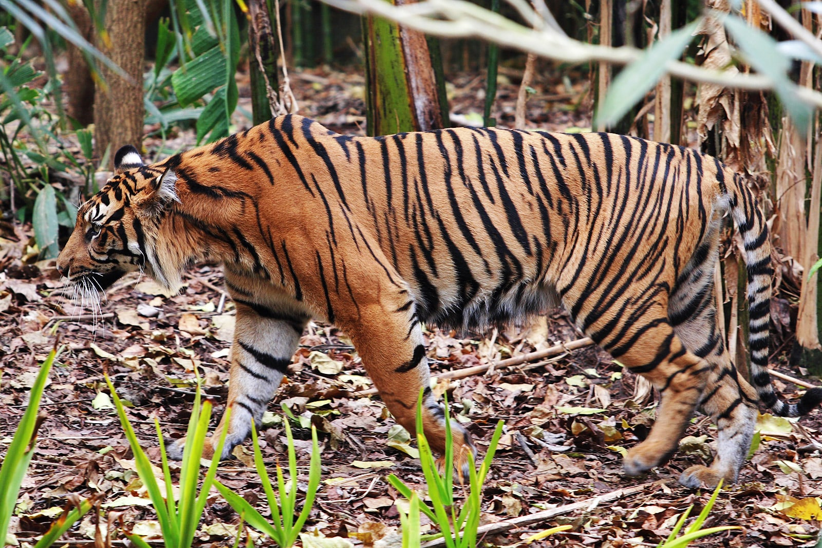 the tiger at melbourne zoo-min
